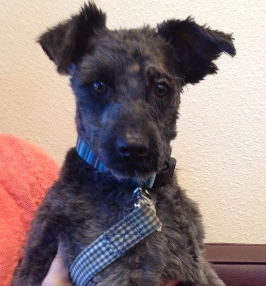 Schnauzer And Scottish Terrier Dogs – part of the c...