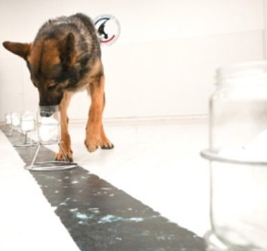 Dog training for scent tracking