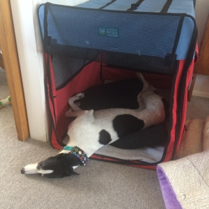 Greyhound in crate