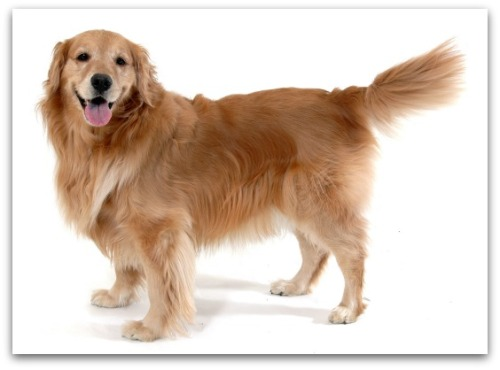 Golden retriever tail wagging