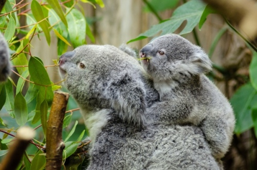 koala-mother-and-baby