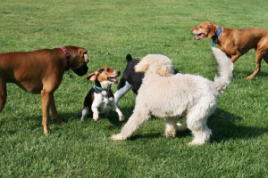 dog-play-group