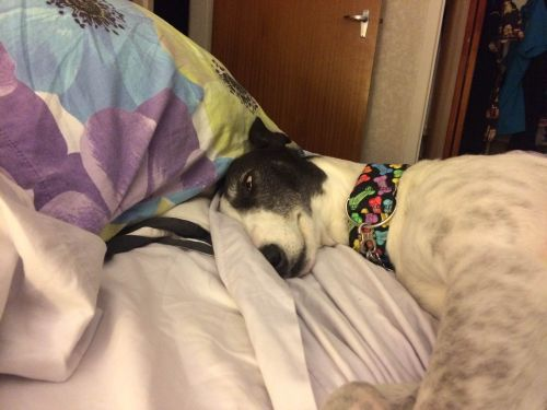 Izzy the greyhound asleep in bed