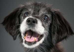Dog with greying muzzle