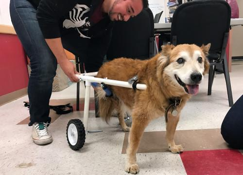 Kita dog in special wheelchair