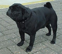 Pug photo