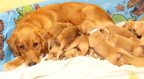 Mother dogs nursing style