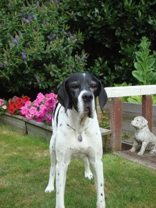 Daisy English Pointer