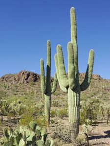 saguaro from Wikipedia