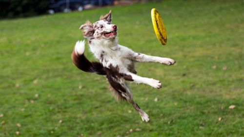 Athletic dog