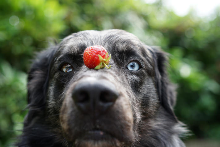Dog with Strawberry photo