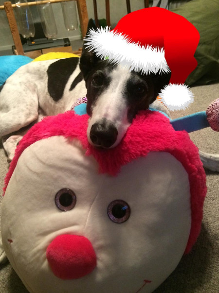 Izzy the Greyhound at Christmas