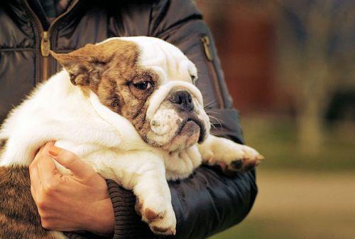 fat bulldog