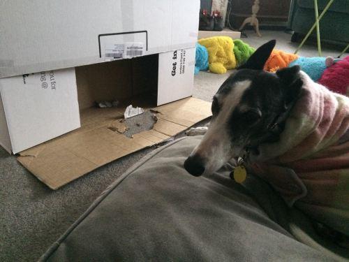 Izzy with her shredded box