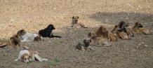 Wild_dogs