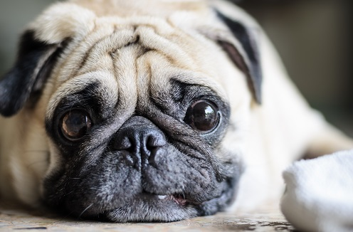 Cute fat pug dog with funny face