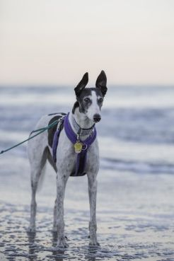 Izzy the greyhound by Little Things Photography