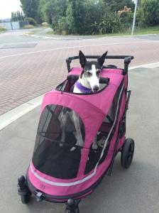 Izzy greyhound in pram stroller