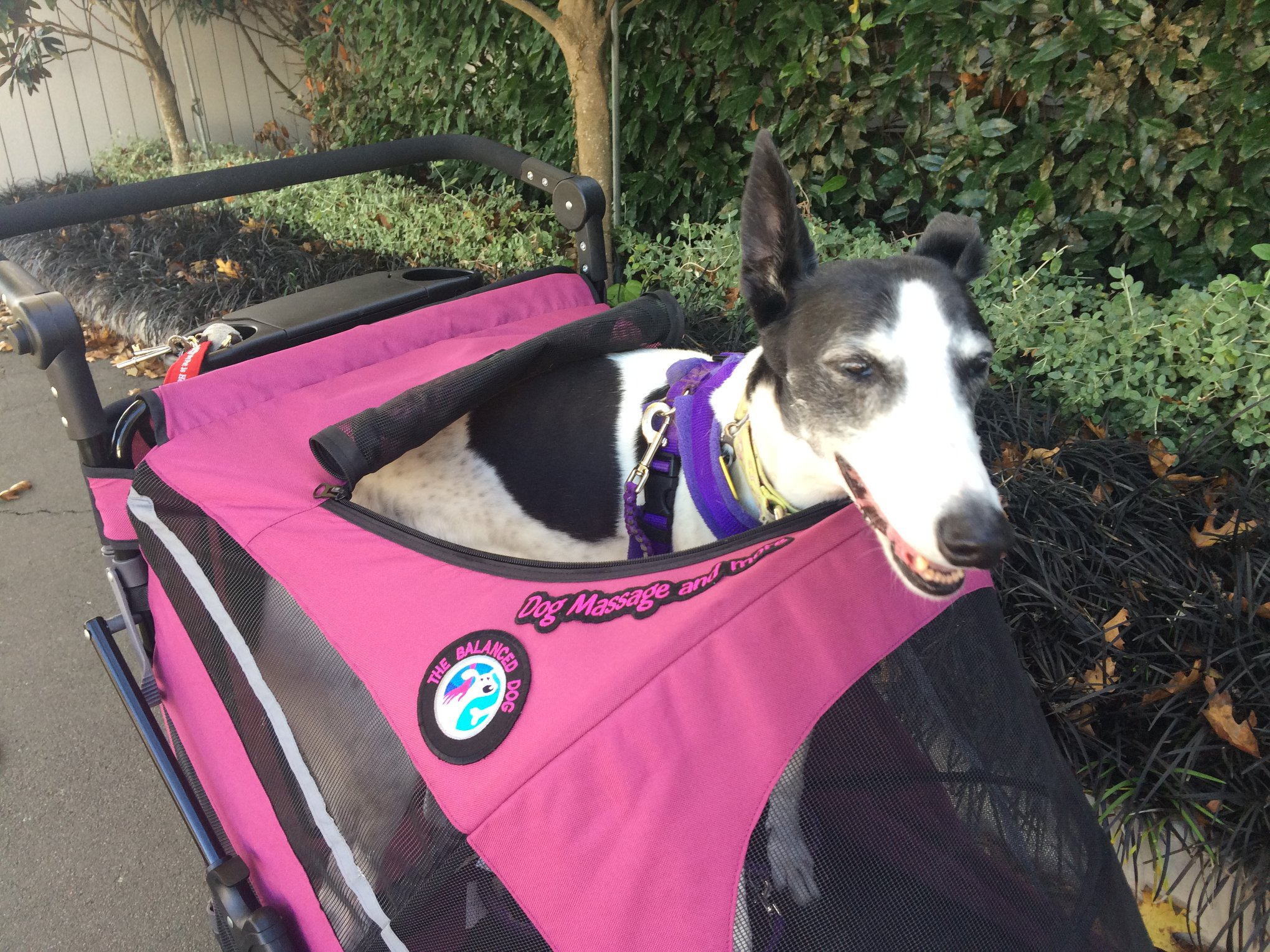 Izzy the greyhound in her pram