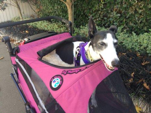 Izzy the greyhound in her pram